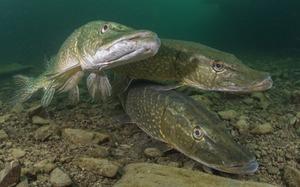 Сон о рыбе по кармическому соннику