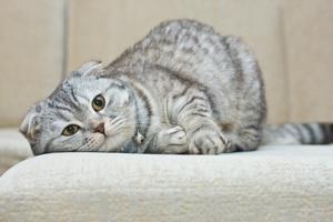 Беременная британская кошка отдыхает