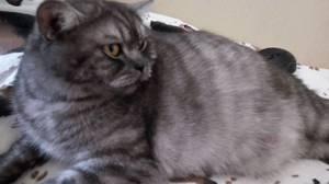Кошка серого окраса на отдыхе