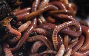 К чему видеть червей во сне