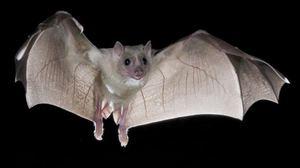 Как понять к чему снится мёртвая летучая мышь