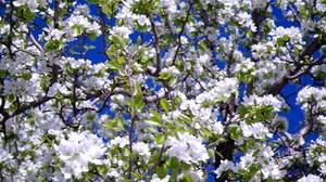 Кчему снится яблоневый сад