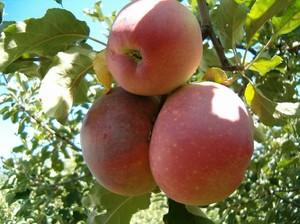 Видеть во сне яблоню с красными яблоками