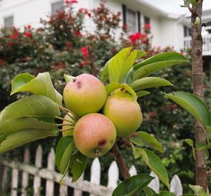 Значение сна яблоня с зелеными плодами