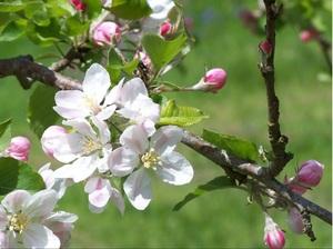 Яблоневый цвет во сне