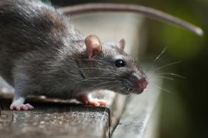 Убить крысу во сне – к чему это