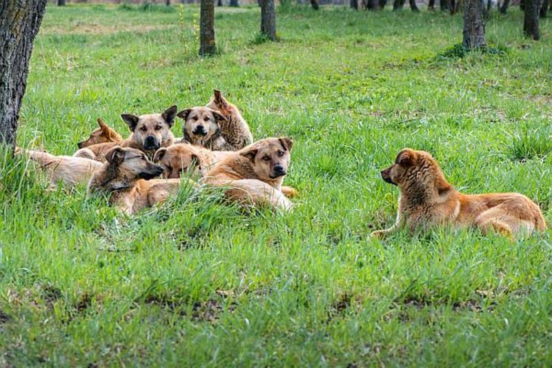 Видеть во сне стаю собак, к чему