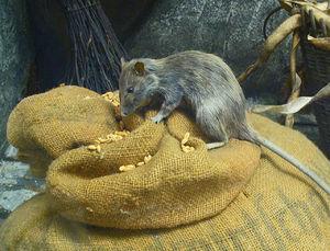 Значение сна об убитой крысе
