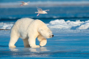Трактовка сна про белого медведя