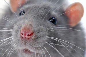 Если снится серая крыса...