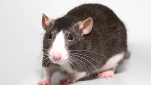 Крысы во сне имеют разное значение