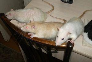 Много крыс грызут одежду
