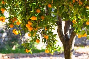 К чему видеть во сне мандарины