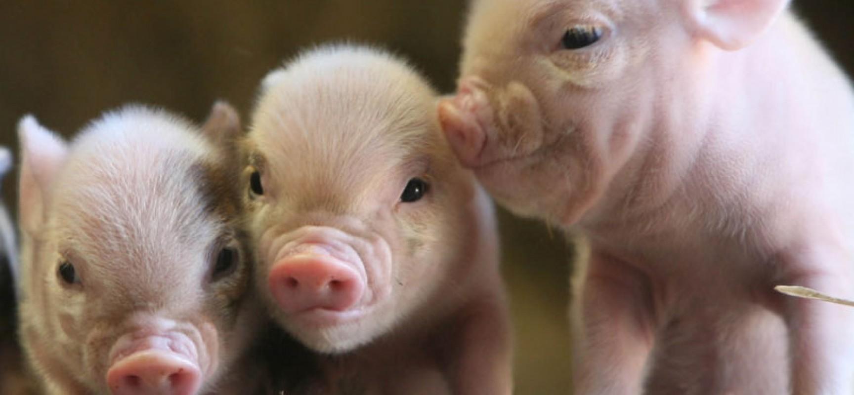 Грязная маленькая свинка предупреждает о том, что около вас вьются ненадежные люди, которые красиво говорят, но мало делают.