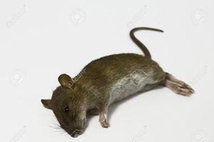 Что означает увидеть во сне дохлую мышь.