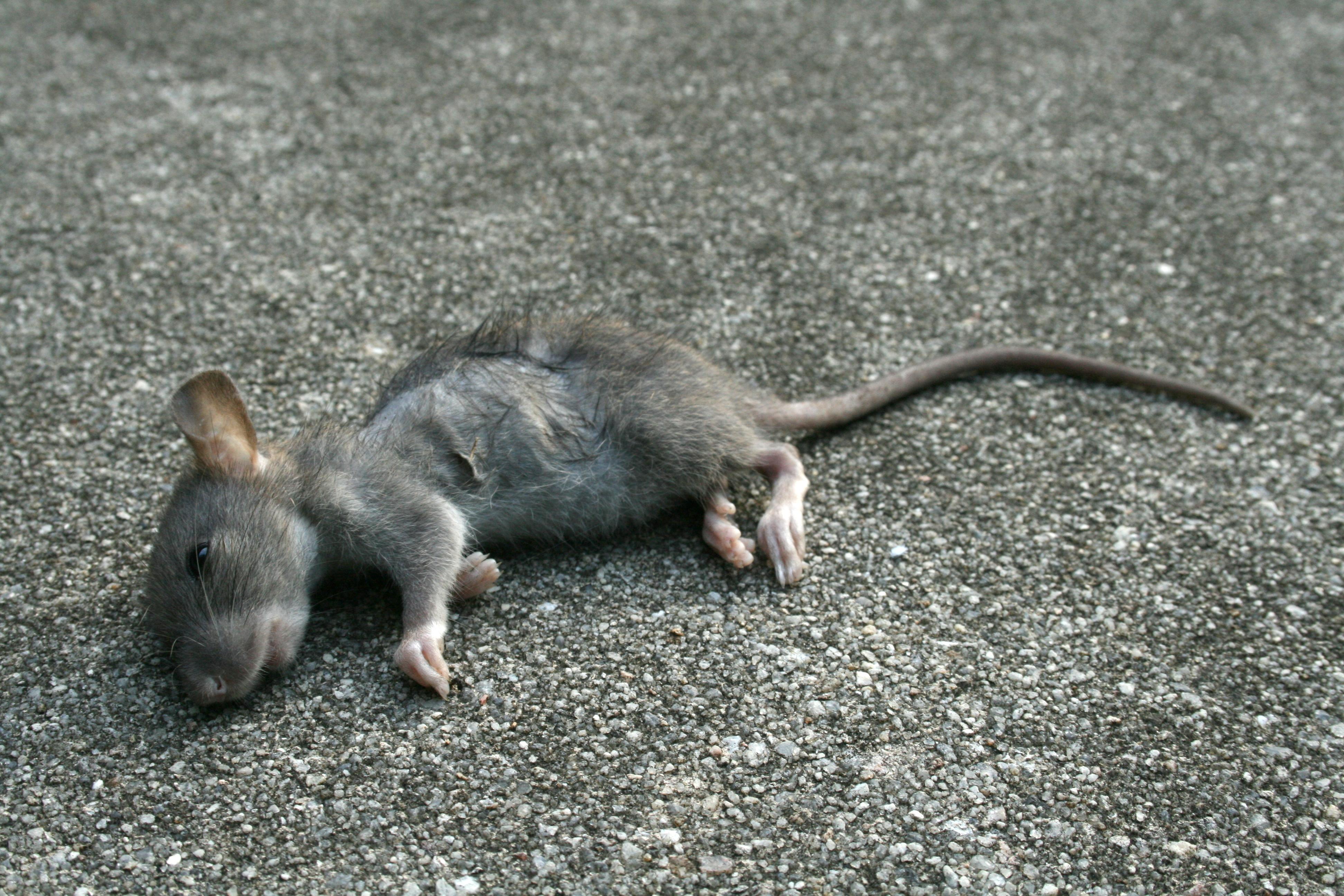 Мышь серогорбая картинка