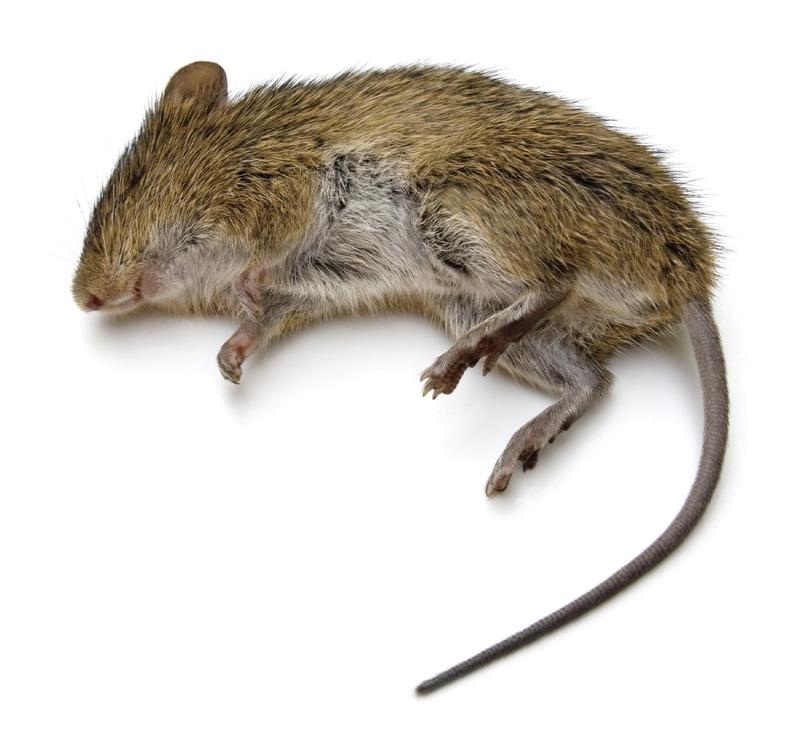 сонник мертвые мышата
