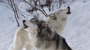 К чему приснился волк