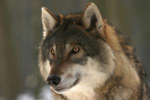 К чему снятся нападающие волки