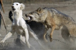 Толкование снов про волков