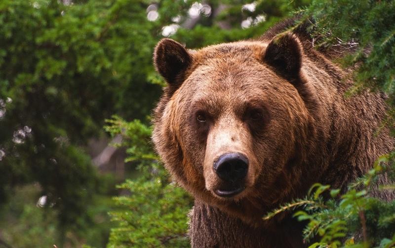 сонник бежать от медведя