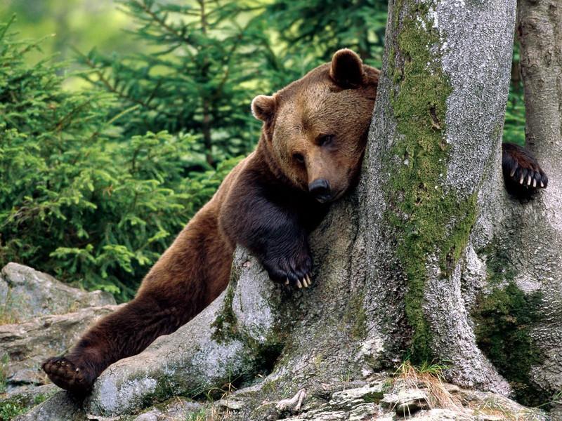 Как растолковать сон про медведей