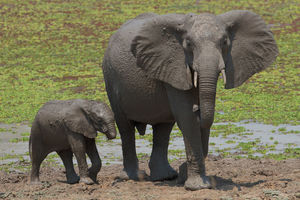 Толкование сна о слоненке