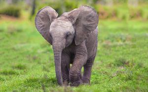 Снится слоненок: толкование