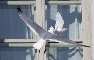 К чему это когда птица стучит в окно
